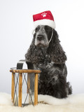Cockerspaniel dog portrait with a Christmas hat. Image taken in a studio with white background.  - 183068465