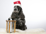 Cockerspaniel dog portrait with a Christmas hat. Image taken in a studio with white background.  - 183068473