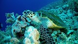 Red sea scuba diving - Sea turtle eating in a reef - 183068603