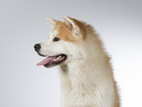 Akita puppy dog portrait. Image taken in a studio with white background. - 183068884
