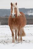 Haflinger steht auf dem Winterpaddock im Schnee - 183071431