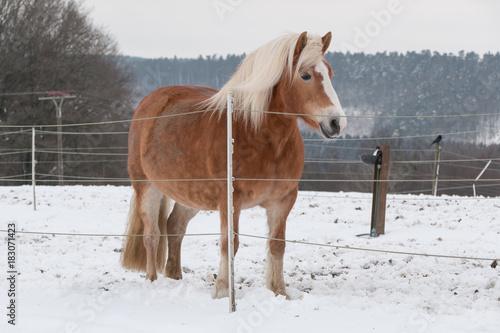 Plexiglas Paarden ein Haflinger steht im Schnee auf der Weide