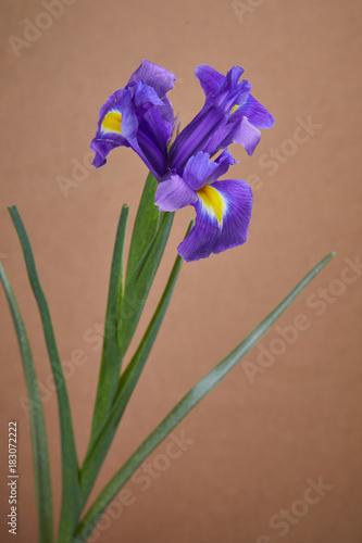 Plexiglas Iris nice iris flower