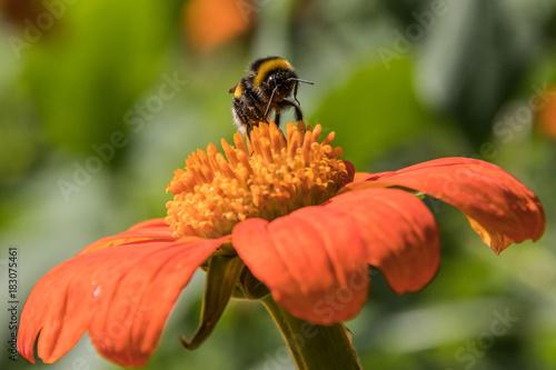 Fotobehang Bee Bee on Flower