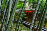Bamboo grove at Japanese garden, Japan. 竹林 京都