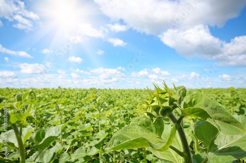 Fototapeta Sunflower green field under cloudy summer sky