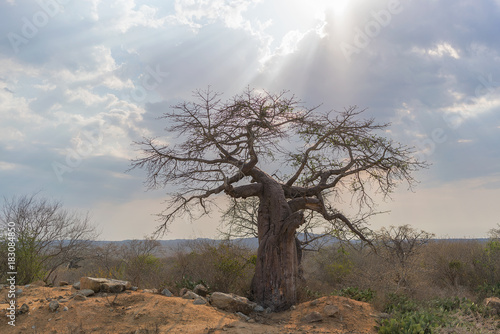 Canvas Baobab African baobab with dramatic sky. Angola.