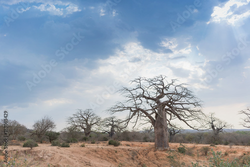In de dag Baobab African baobab with dramatic sky. Angola.