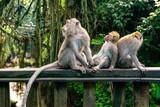 family of monkeys in bali, indonesia - 183093237