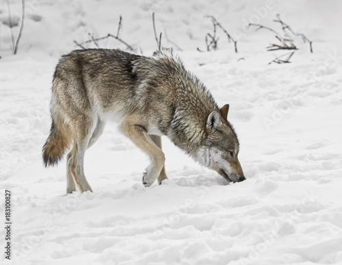 Plexiglas Wolf Searching