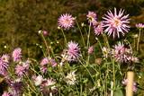 Dahlias roses en automne ,au Jardin des Fleurs au Vrijbroekpark à Malines - 183103480