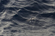 Flying fish above sea surface