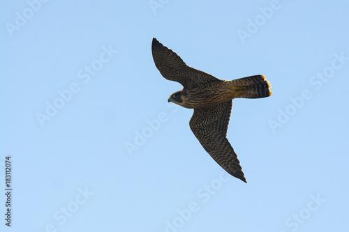 falcone pellegrino in volo,Falco peregrinus,silhouette,sfondo chiaro Poster