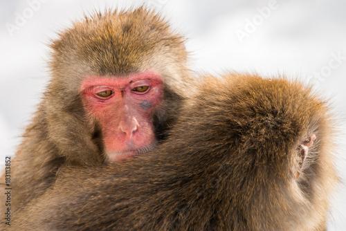 Fotobehang Aap hugging snow monkeys
