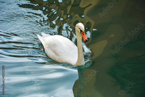 Fotobehang Zwaan A beautiful white swan in the clear water of the Tew channel in the French city of Annecy.