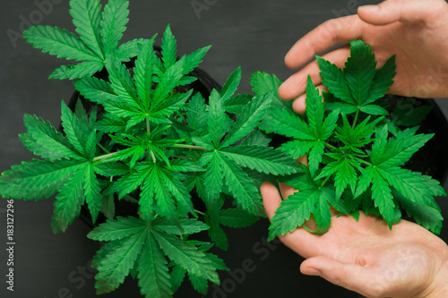 A man's hand touches a beautiful cannabis leaf The concept of using marijuana for recreational purposes - 183127296