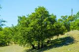 Three oak trees grow on the hillside. - 183129617
