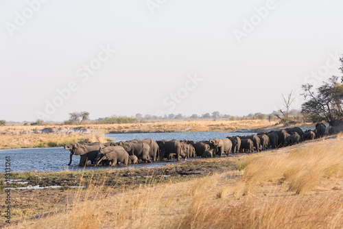 Large herd of elephants drinking in river Poster
