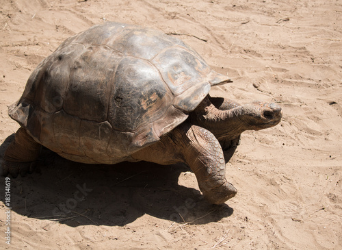 Fotobehang Schildpad Large tortoise walking through the sand