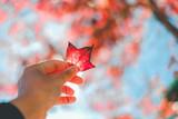 Autumn maple leaves in Thailand - 183142419
