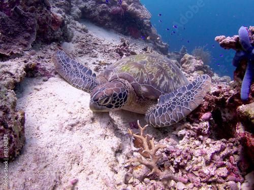 Fotobehang Schildpad Turtles in Moalboal, Cebu, Philippines