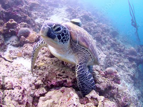 Turtles in Moalboal, Cebu, Philippines Poster