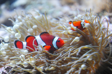red clownfish in the coral reef