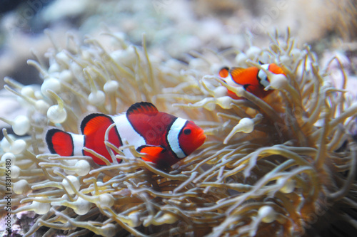 red clownfish in the coral reef Poster