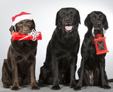 Christmas dogs. Group of labradors with Christmas hat, lantern and a present. Funny dog group. - 183154832
