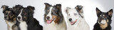 Group of dogs in a studio. Australian shepherd dogs. Image taken in a studio with white background. Panoramic photo. - 183155434
