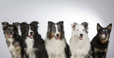 Group of dogs in a studio. Australian shepherd dogs. Image taken in a studio with white background. Panorama image. - 183155452