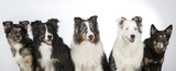 Group of dogs in a studio. Australian shepherd dogs. Image taken in a studio with white background. Panorama image. - 183155461