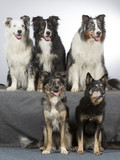 Group of dogs in a studio. Australian shepherd dogs. Image taken in a studio with white background. - 183155473