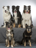 Group of dogs in a studio. Australian shepherd dogs. Image taken in a studio with white background. - 183155493