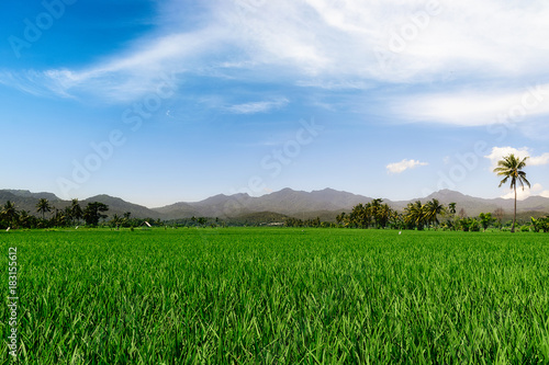 Staande foto Groene green rice field with palms in bali. lombok. indonesia