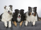 Australian shepherd dog group. Portrait taken in a studio with white background. Three dogs, colorful eyes. - 183159621