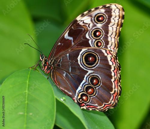 Fotobehang Vlinder Brown butterfly sitting on a green leaf