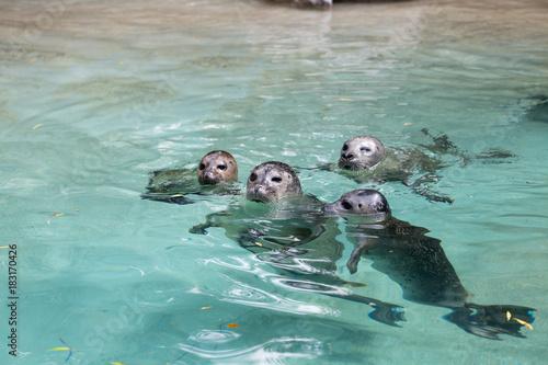Seehund Familie im Zoo Augsburg Poster
