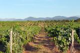 vignes corse dans la plaine d'Aléria