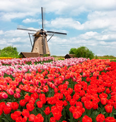 one traditional Dutch windmill of Zaanse Schans and rows of tulips, Netherlands