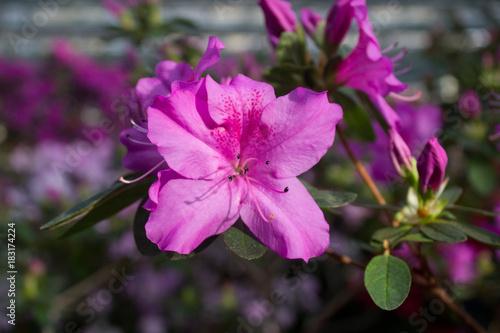 Plexiglas Azalea Azalea flower pink