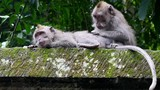 Ape adult animal catches fleas from his friend in rain forest of Bali. Family monkeys. - 183181431