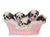 litter of shih tau puppies in a dog bed - 183184897