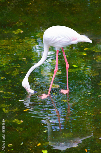 greater flamingo feeds Poster