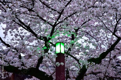 夜桜 京都 祇園 Poster