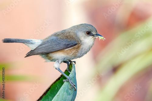 oiseau insectivore endémique de l'île de la Réunion, zosterops borbonicus
