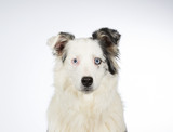 Young Australian shepherd dog portrait. Blue eyes. Image taken in a studio with white background. - 183194857