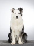 Young Australian shepherd dog portrait. Blue eyes. Image taken in a studio with white background. - 183194867
