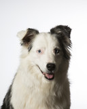 Young Australian shepherd dog portrait. Blue eyes. Image taken in a studio with white background. - 183194887