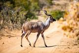 Kudu in South Africa - 183198848